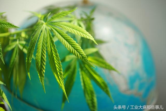 還在拿工業大麻說事兒?中國青年網正名了:工業大麻前景可期! - 每日頭條