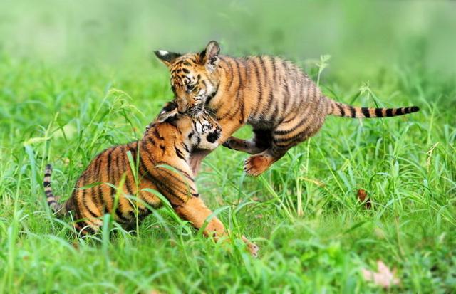 華南虎為何被列為瀕危物種 - 每日頭條