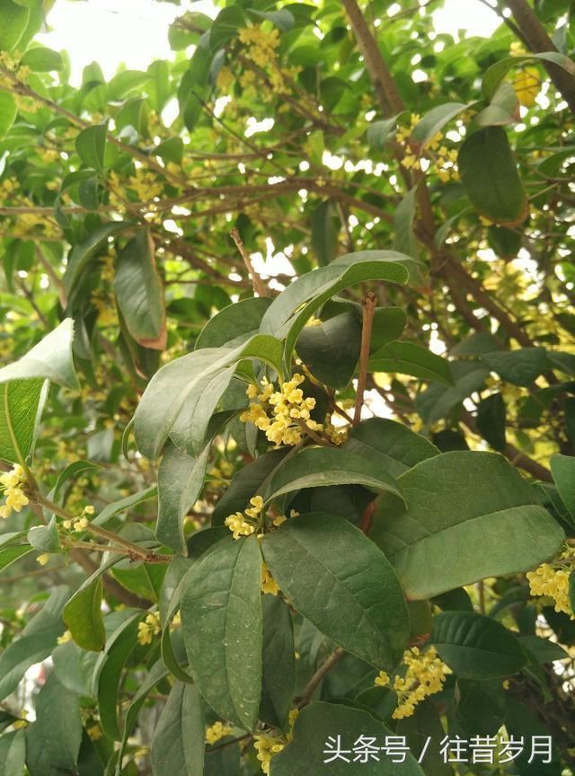 邯鄲學院又是一年桂花開 香氣充滿園 - 每日頭條