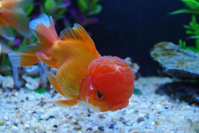 辦公室養魚之(入門級金魚的餵養) - 每日頭條