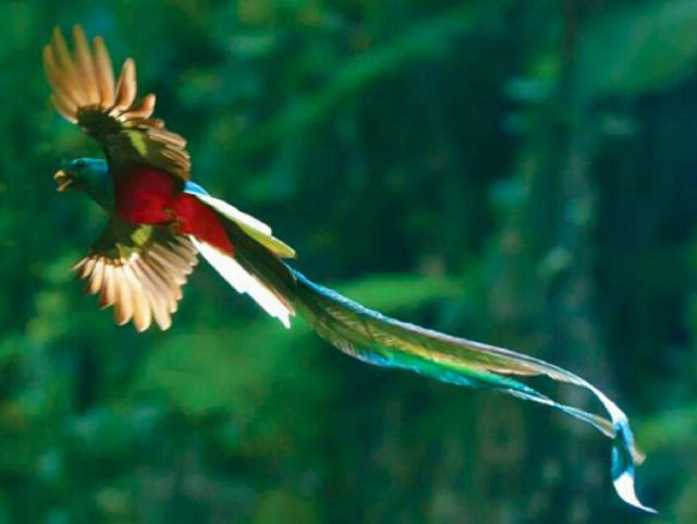 咬鵑中體型最大的危地馬拉國鳥,如同鳳凰一樣長長尾羽引人入勝 - 每日頭條