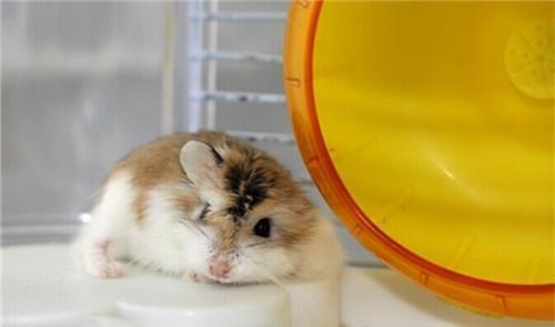 老公公倉鼠的餵食要點 - 每日頭條