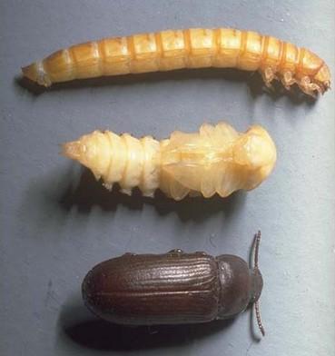養殖蟾蜍飼料——繁殖黃粉蟲方法(上) - 每日頭條