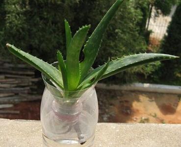 蘆薈的水培方法 水培蘆薈怎麼養? - 每日頭條