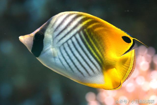 海缸常見蝶魚之人字蝶, 1795; Holocanthus tricolor Bloch,而被稱之Tholichthys。背鰭連續,嗜食巖縫中的蝦,三間火箭以及鑽石蝶 - 每日頭條