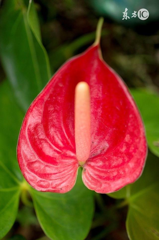 紅掌的種植要點和注意方法 - 每日頭條