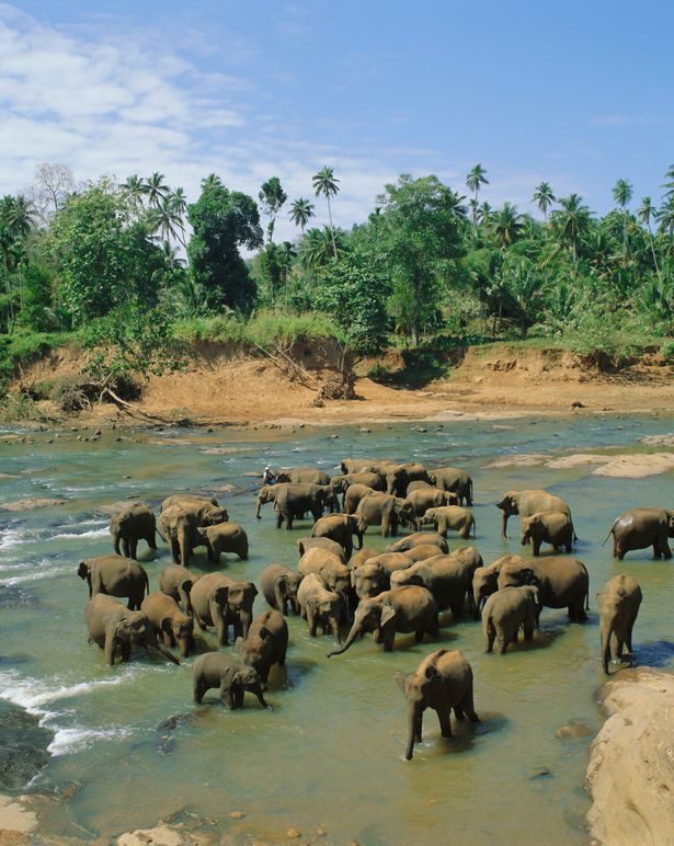 Elephants in the river, Pinnewala, Sri Lanka