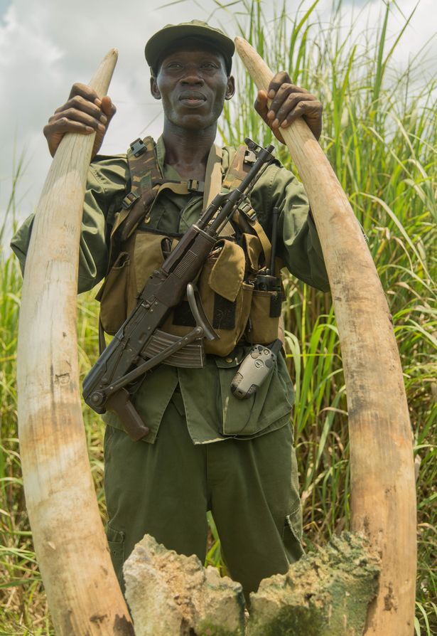 A Garamba National Park ranger handles two ivory tusks