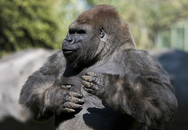 Bantu the gorilla has died of a heart attack after being sedated so he could be transported to another zoo