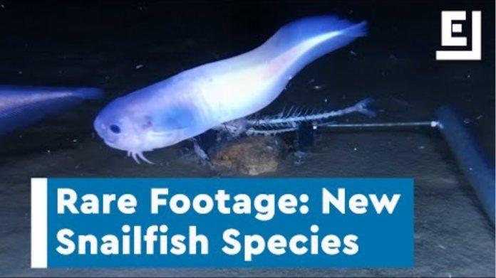Rare Footage of New Snailfish Species