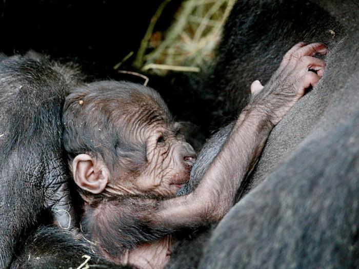 Conor Healy, Dublin Zoo/AP Photo