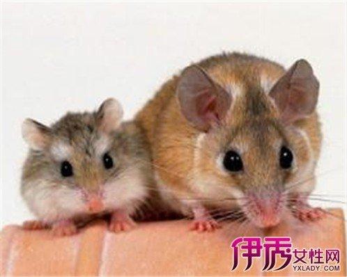 夢見老鼠 寓意破壞疾病是非 - 壹讀