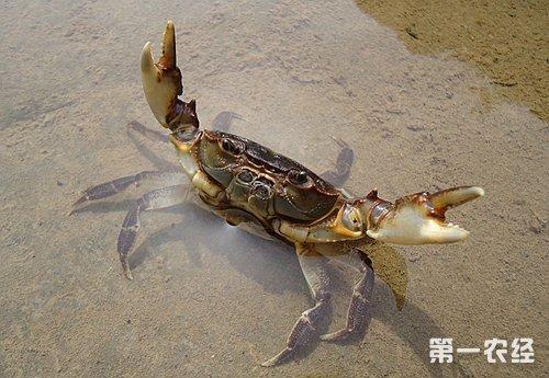 螃蟹的養殖方法 - 壹讀