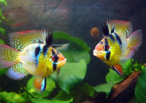 七彩鳳凰魚疾病怎麼預防 保證良好的水質 - 壹讀