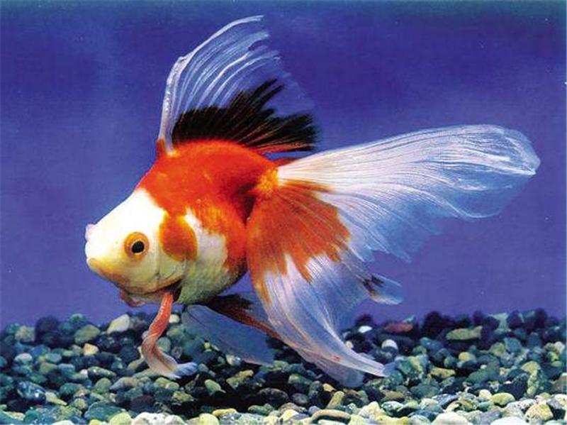5個原因告訴你金魚為什麼趴在缸底不動 - 壹讀