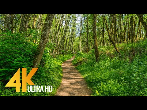 4K Virtual Hike on a Sunny Day with Forest Sounds - Licorice Fern Trail, Issaquah Area