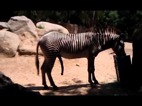 horse sexing zebra
