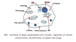 232 Annotate the diagram of a eukaryotic cell with the