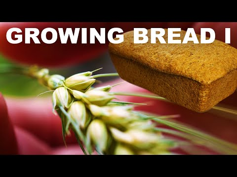 Growing Bread I: Planting to harvest