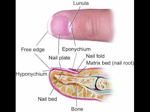 Anatomy Of The Nail YouTube