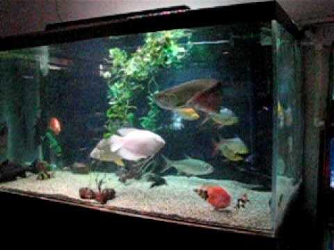 Arowana In A 1 000 Gallon Fish Tank Youtube