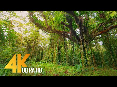 4K Tropical Forest Walk & Exotic Birds Singing in the Woods - Big Island, Hawaii