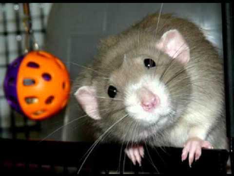Funny Rats Florida Pet Rat Photos 2010 YouTube