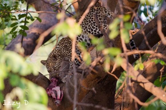 leopardIzzy5.154546.jpg