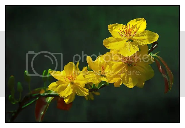 Hoa mai, a lucky flower in Vietnam