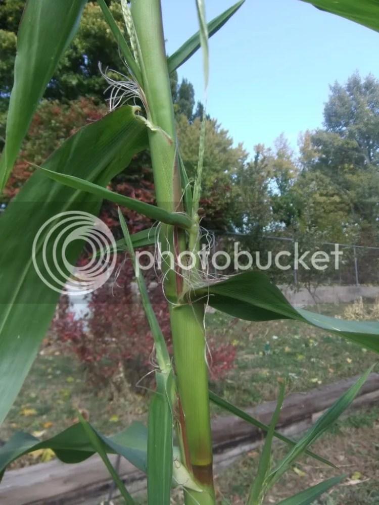 Growing Prehistoric Corn (Teosinte) (6/6)