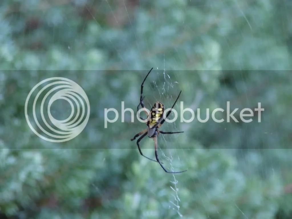 Writing Spider : Argiope aurantia
