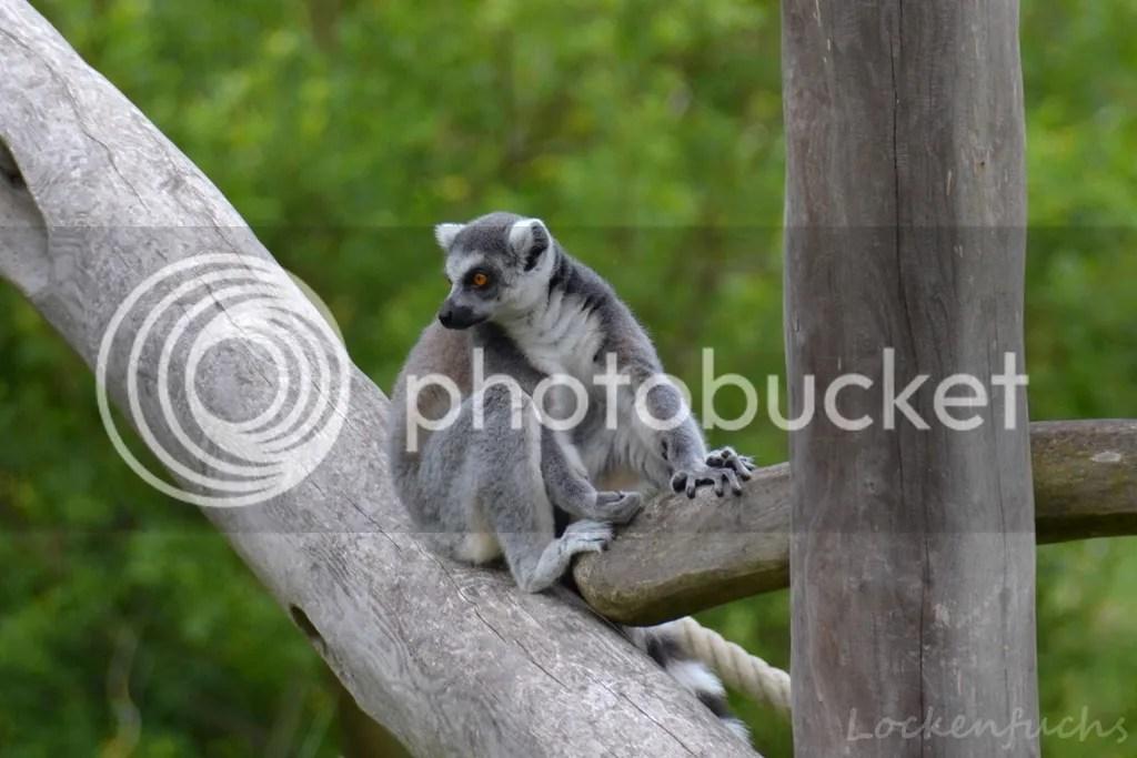ein Lemur