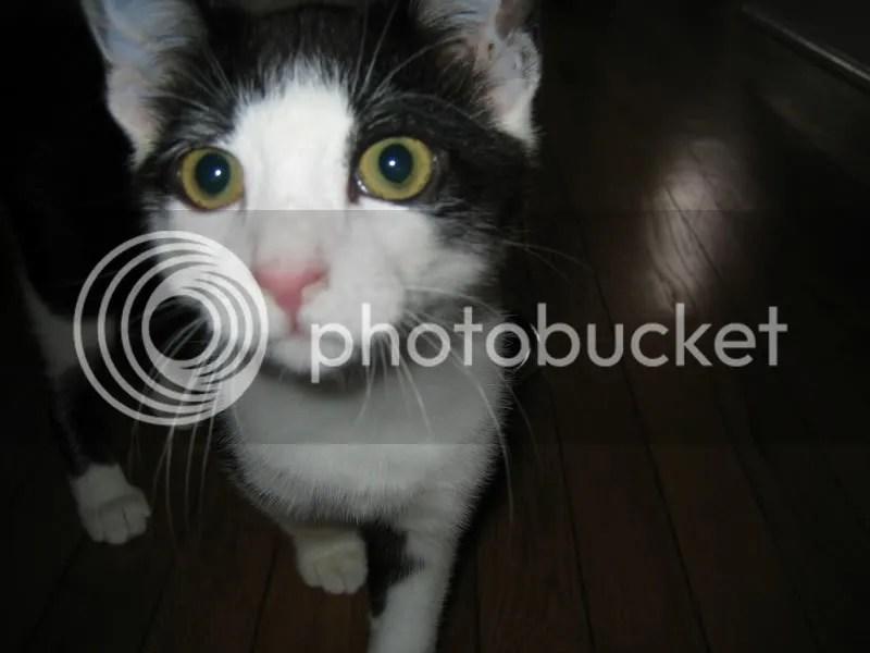 big-eyed Moose kitty