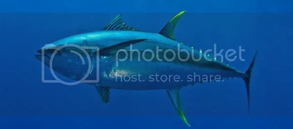 Indonesia menjadi penyumbang kebutuhan Ikan Tuna dunia