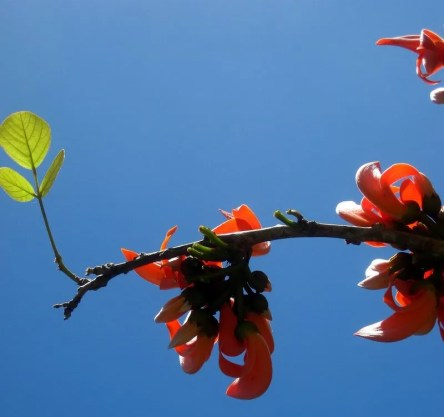 Coral Tree Blossoms