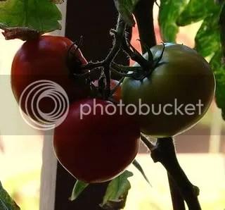 Lanai Tomatoes