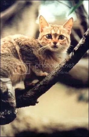 The Arabian Wildcat crouching in a tree.