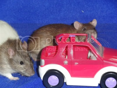 rat in car photo: car rats DSC04437.jpg