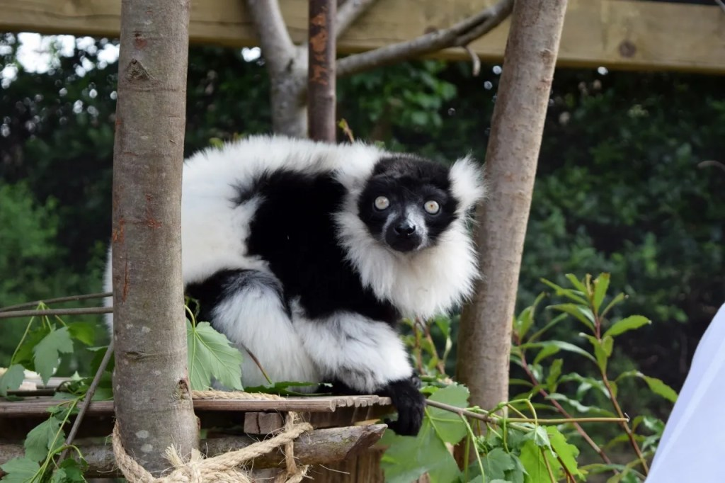 Lemur | In With The Lemurs | London Zoo | The LDN Diaries