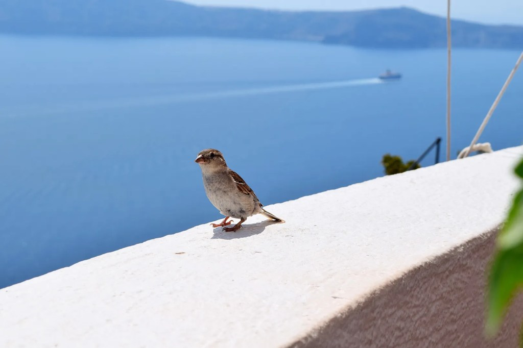 Sparrow firostefani santorini greece