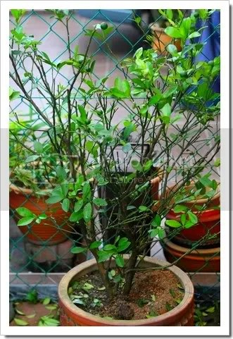 we are less than three months away from celebrating chinese new year the one thing to prepare myself for cny is pruning the lime tree now this is how you