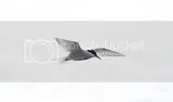 photo arctictern01_zpsfyjlpawj.jpg