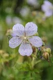 photo purple flowers iceland 01_zpsfw1qucts.jpg