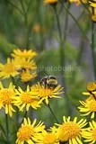 photo yellow flowers amp bee iceland 01_zpsqjrutibs.jpg