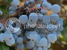 photo grape3_zps445179df.jpg