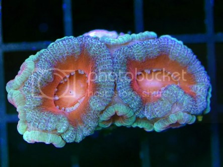 [Imagen: Acanthastrea-lordhowensis-Acan-Frag-2-14...2946c4.jpg]