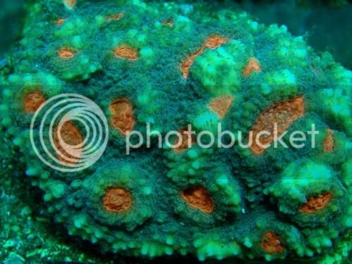 [Imagen: EY003-Echinophyllia-aspera-tip-red_zpsb367d17e.jpg]