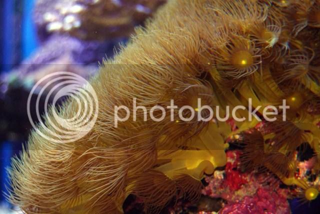 [Imagen: Parazoanthus_zpsa2a7d941.jpg]