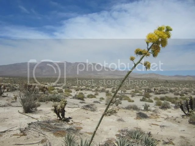 Agave in bloom photo AnzaBocentury_zps17e20bbe.jpg