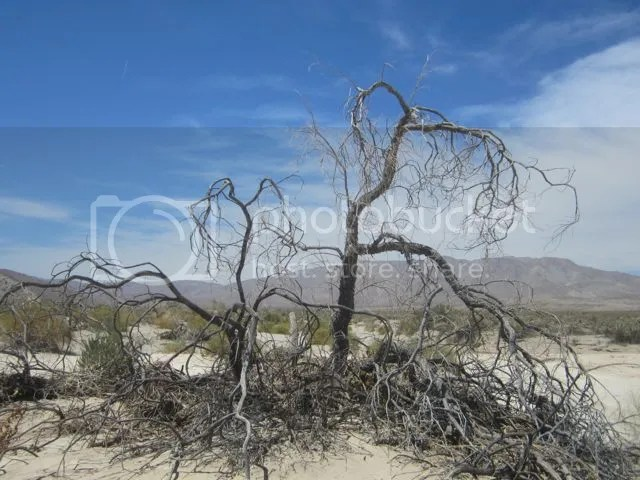 Dead Desert Willow photo AnzaBodeadtree_zps84542f22.jpg